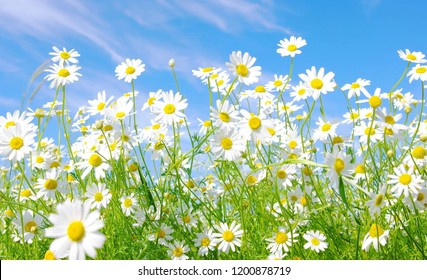 Flowers are beautiful grass in the Daisy area