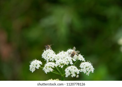 FLOWERS: bee on a white flower - a green background