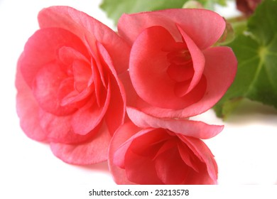 Flowers of a begonia of red color close up.