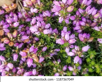 Flowers of bell heather plant, Erica cinerea, growing in Galicia, Spain