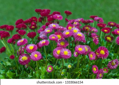 Flowers of the Bellis perennis Pomponette or English daisies in a green lawn
