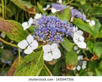 Flowers of bigleaf hydrangea or hortensia, Hydrangea macrophylla