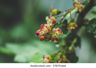 flowers black currant, closeup, blue tone, agricultural spring background.
