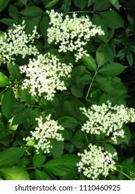 flowers of black elder, Sambucus nigra,
