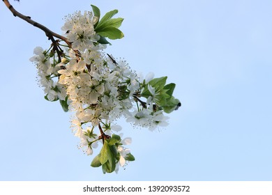 Flowers of blackthorn on the background of spring blue sky. Flowers of blackthorn on the background of spring blue sky