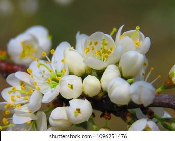 flowers of blackthorn, Prunus spinosa,