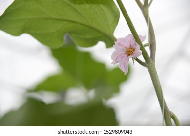 Flowers bloom in a commercial tunnelhouse growing eggplant, aubergine, or brinjal (Solanum melongena) for the wholesale market.