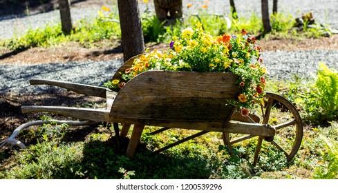 Flowers bloom in a rustic wheelbarrow