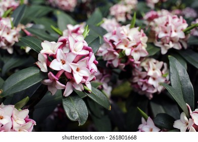 Flowers bloom in spring emit a nice fragrance, daphne