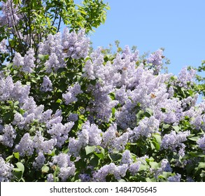 Flowers blooming lilac. Beautiful purple lilac flowers outdoors. Lilac flowers on the branches