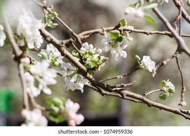 flowers of a blossoming apple tree
