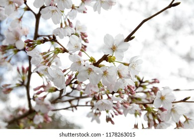 flowers of blossoming cherry on the branch