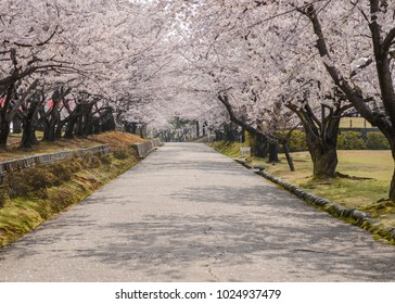 flowers of blossoming sakura in Japan