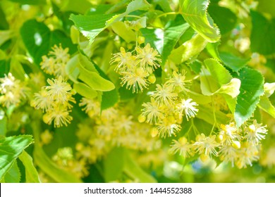 Flowers of blossoming tree linden wood, used for pharmacy, apothecary, natural medicine and healing herbal tea. Linden or lime tree in bloom as background of spring nature, note shallow depth of field