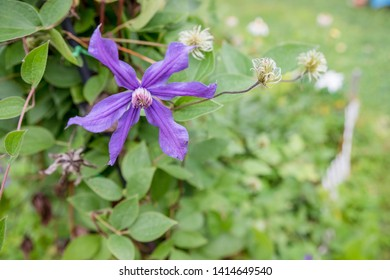 flowers of blossoming violet clematis with droplets of rain. Big bush of clematis growing in garden. Clematis after rain. Beautiful purple clematis blossom.holiday greeting card.