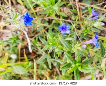 Flowers of blue carrasquilla, Glandora prostrata, growing on meadows of Galicia