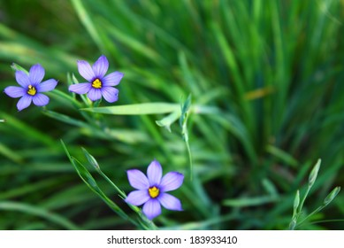 Flowers Blue eyed grass soft forcus Sisyrinchium bellum California USA