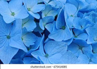 Flowers of blue hydrangea
