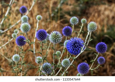 Flowers of blue thistle bloom in meadow. Flower heads of Echinops, Blue Thistle or milk thistle, Echinops spinosissimus Turra is European plant species in thistle family in family of sunflower
