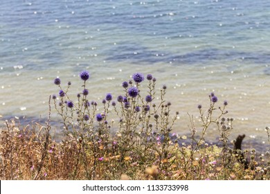 Flowers of blue thistles bloom in the meadow. Flower heads, Blue thistle or milk thistle - is a European kind of plant in the family of a thistle in the family of sunflower