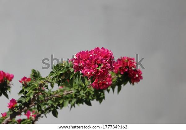 flowers-bougainvillea-mid-air-600w-17773