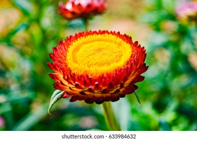 Carpel straw flower images stock photos vectors shutterstock flowers of bright colors of the hilltribe grow winter straw flower mightylinksfo