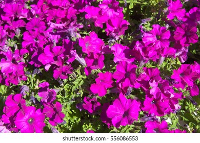 Flowers bright purple-red color on top