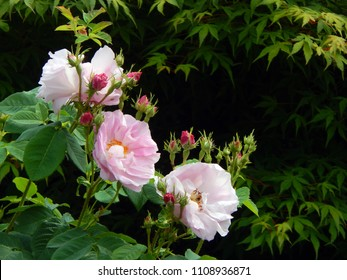 Flowers and buds of the damask rose variety Celsiana (Rosa × damascena) with acer tree leaves behind