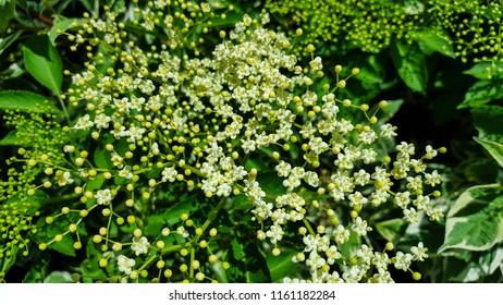 Flowers and buds of Elder (Sambucus nigra)