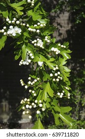 Flowers and buds of Hawthorn (Crataegus monogyna)
