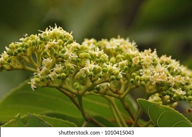 FLOWERS AND BUDS ON A JAPANESE RAISIN TREE