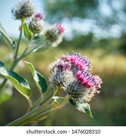 Flowers of a burdock (Arctium tomentosum) on a meadow in summer