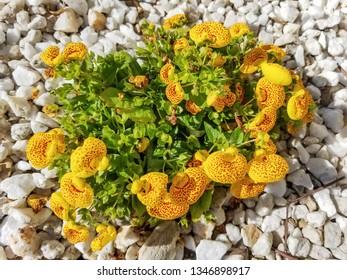 Flowers of bush slipperwort, Calceolaria integrifolia