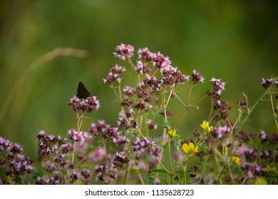 FLOWERS: butterfly on a marjoram