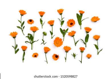 Flowers Calendula ( Calendula officinalis, pot marigold, ruddles, garden marigold ) on a white background. Top view, flat lay. Medicinal herb