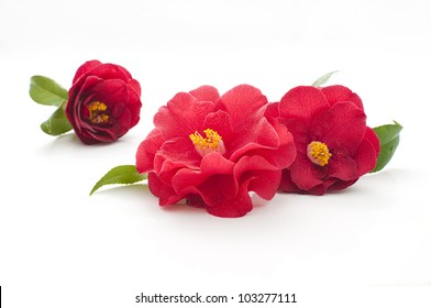 flowers of camellia