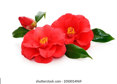 flowers of camellia japonica