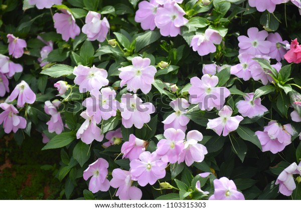 Flowers In Cameron Highland Perak Malaysia. Cameron Highland is a hillside resort in Malaysia