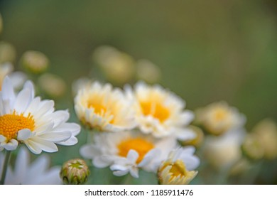 FLOWERS - camomiles on a green background