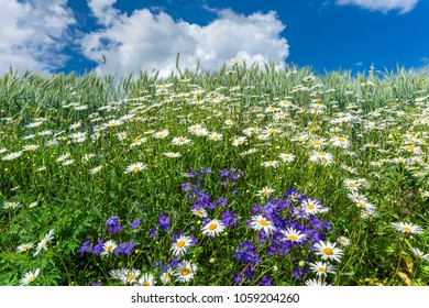 Flowers of Campanula and Camomile on the edge of the field  with cereals