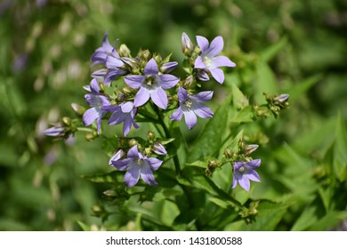 Flowers of Campanula Rapunculoides, known as creeping bellflower or rampion bellflower, is a perennial herbaceous plant of the genus Campanula in the Campanulaceae family.