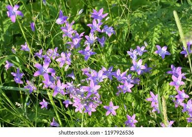 Flowers of Campanula rotundifolia