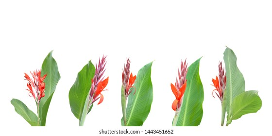 Flowers of Canna or Canna Lily, isolated on white background.
