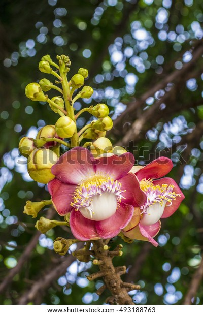 flowers of Cannonball tree