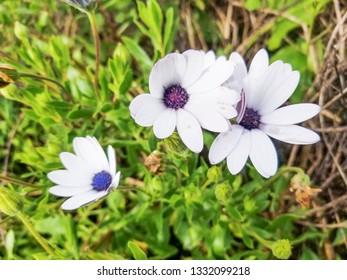 Flowers of Cape marguerite, Sundays river or white daisy bush, Dimorphotheca (Osteospermum) ecklonis growing in Galicia, Spain