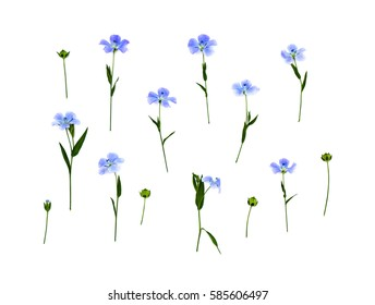 Flowers and capsule with seed flax (Linum usitatissimum) common names: common flax or linseed on a white background. Top view, flat lay
