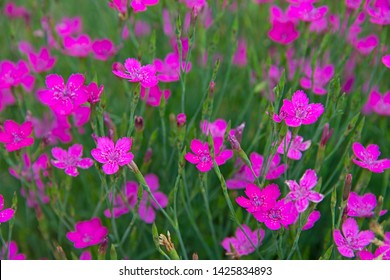 FLOWERS - carnation in sun day