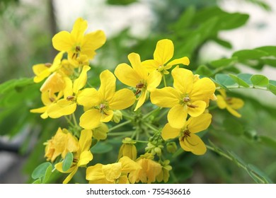 Four petal flowers images stock photos vectors shutterstock the flowers of cassod tree the bouquet is branched at the end of the branch mightylinksfo Choice Image