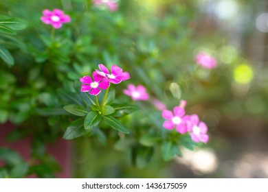 Flowers are Catharanthus roseus, commonly known as the Madagascar periwinkle, rose periwinkle, or rosy periwinkle, is a species of flowering plant in the dogbane family Apocynaceae.