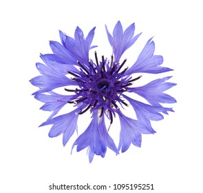 flowers of Centaurea isolated on white background